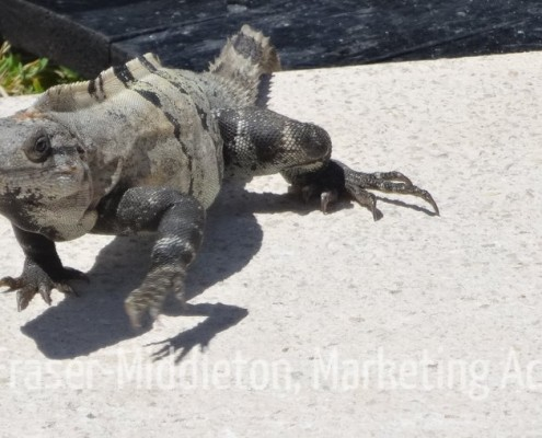 Iguana-photos-step-up-marketing-action-Fraser-Middleton-